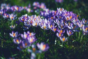 purple petaled flowers wallpaper background