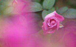 Purple Rose Wallpaper Background