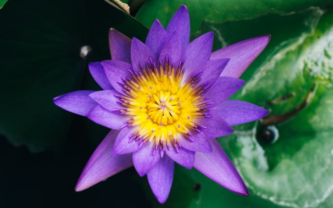 purple water lily wallpaper 4k 5k background