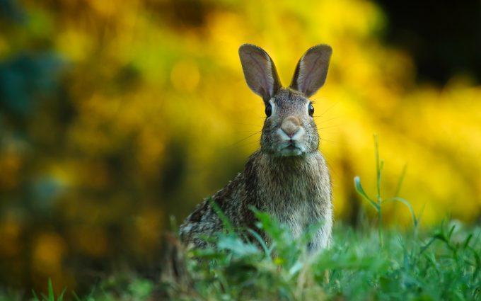 rabbit in grass wallpaper background