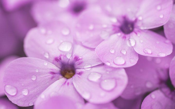 raindrops on violet flower 4k 5k wallpaper