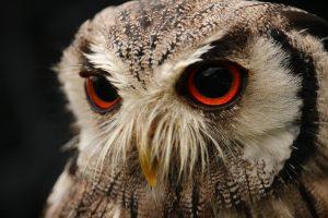 Red Eyes Owl Wallpaper 4K 5K Background