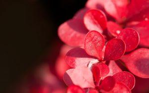 Red Leaf Close Up Wallpaper