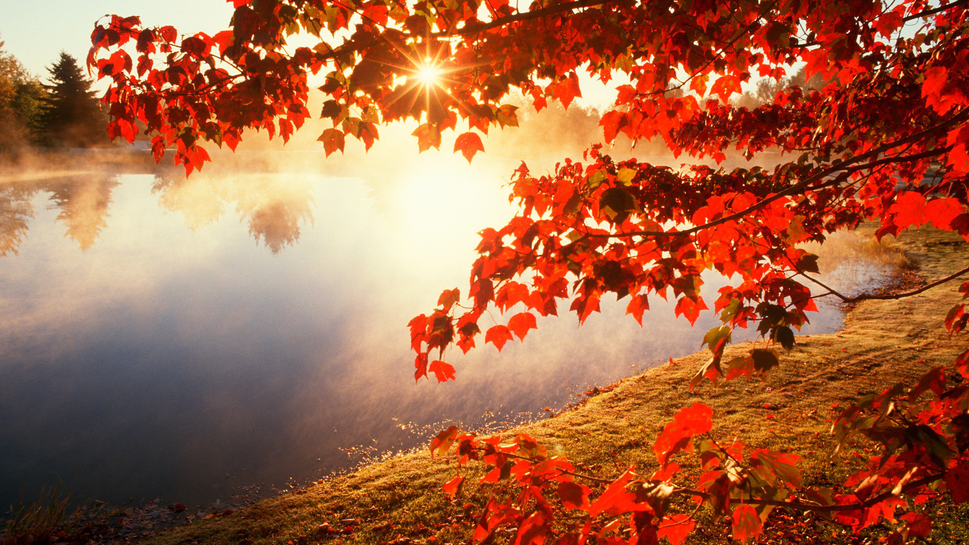 red leaves tree wallpaper background