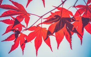 Red Leaves Wallpaper