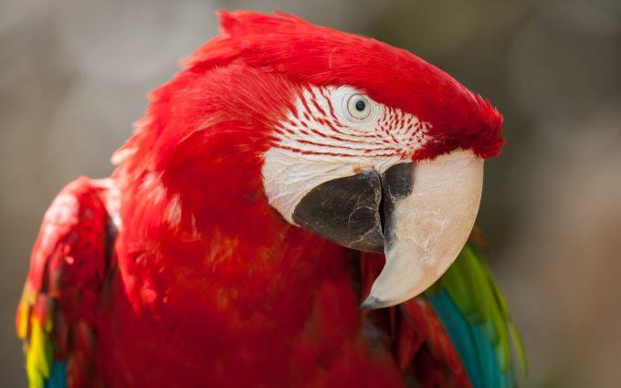 red parrot wallpaper 4k background