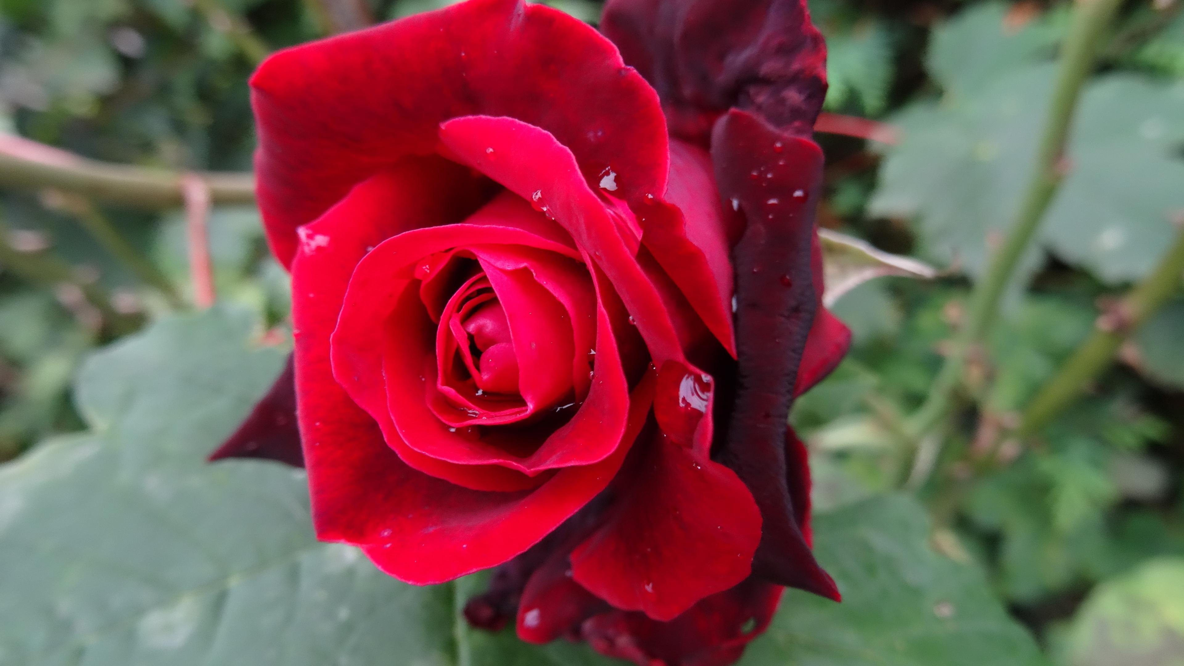 red rose 4k