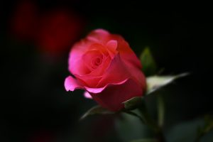 red rose close up wallpaper background