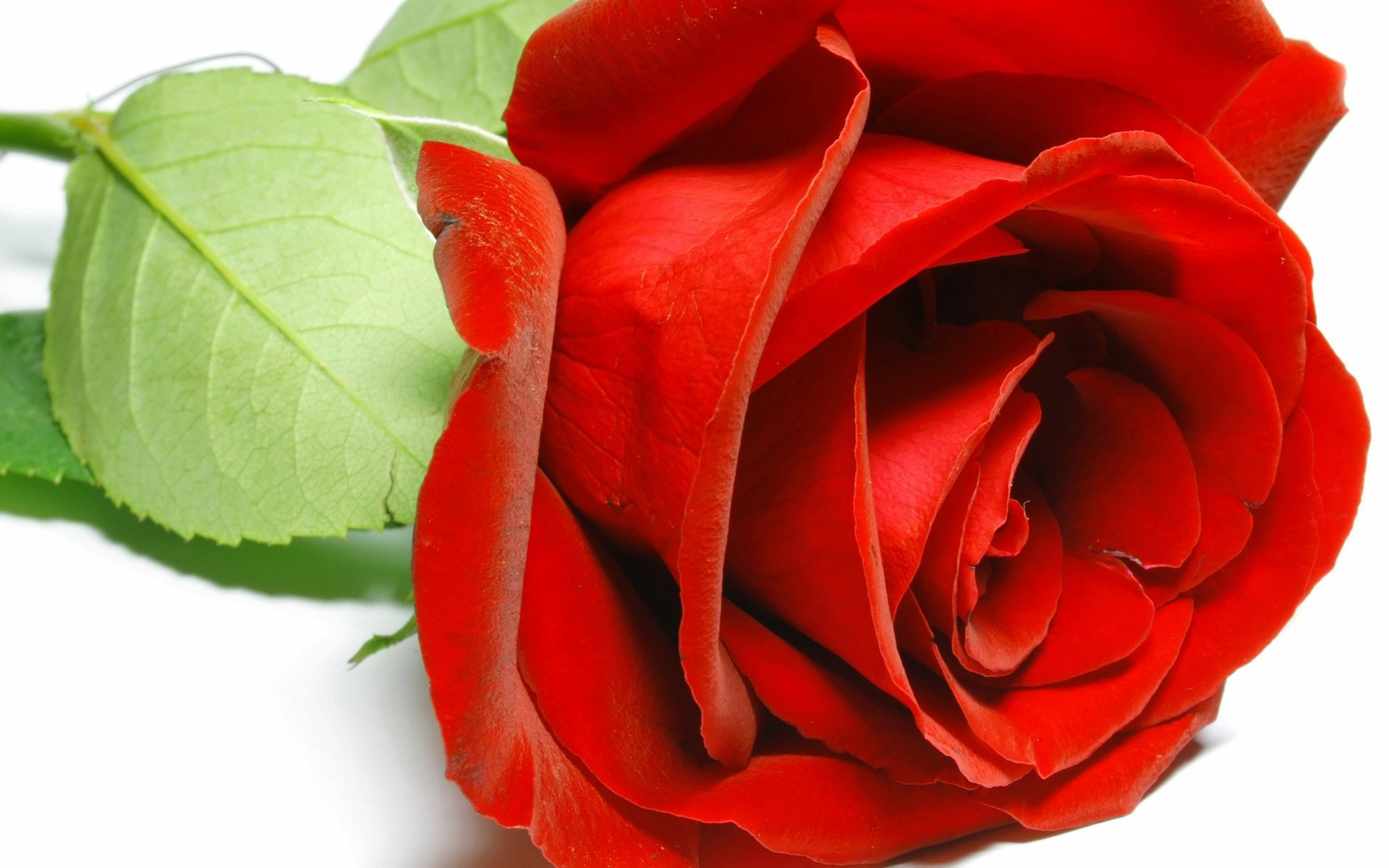 red rose macro wallpaper