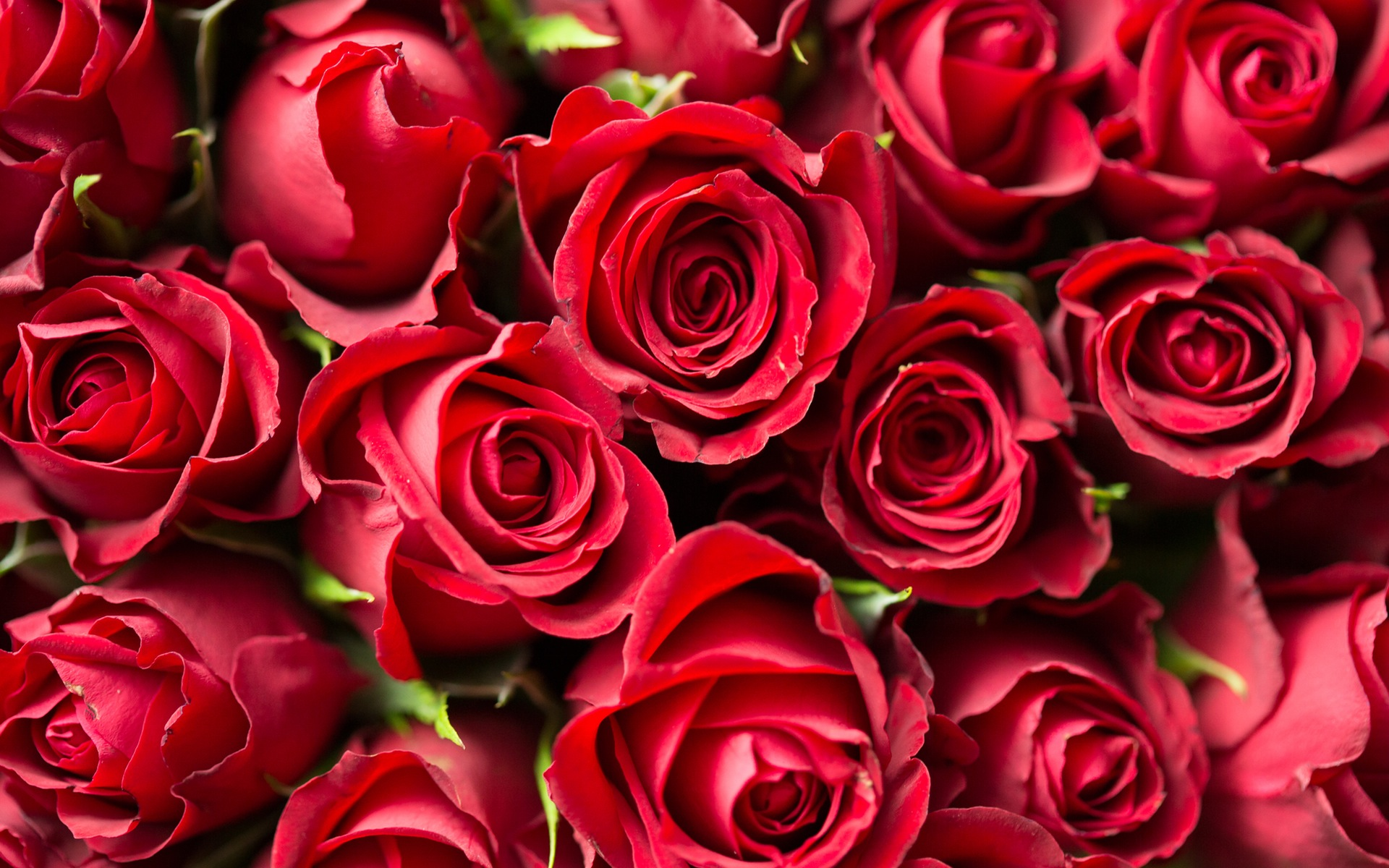 red roses close up wallpaper background
