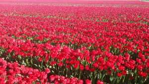 Red Tulips Field Wallpaper 4K Background