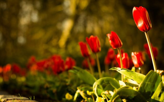 red tulips wallpaper background