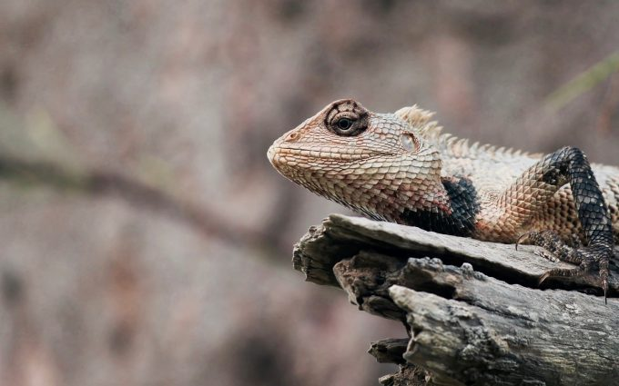 reptile lizard wallpaper