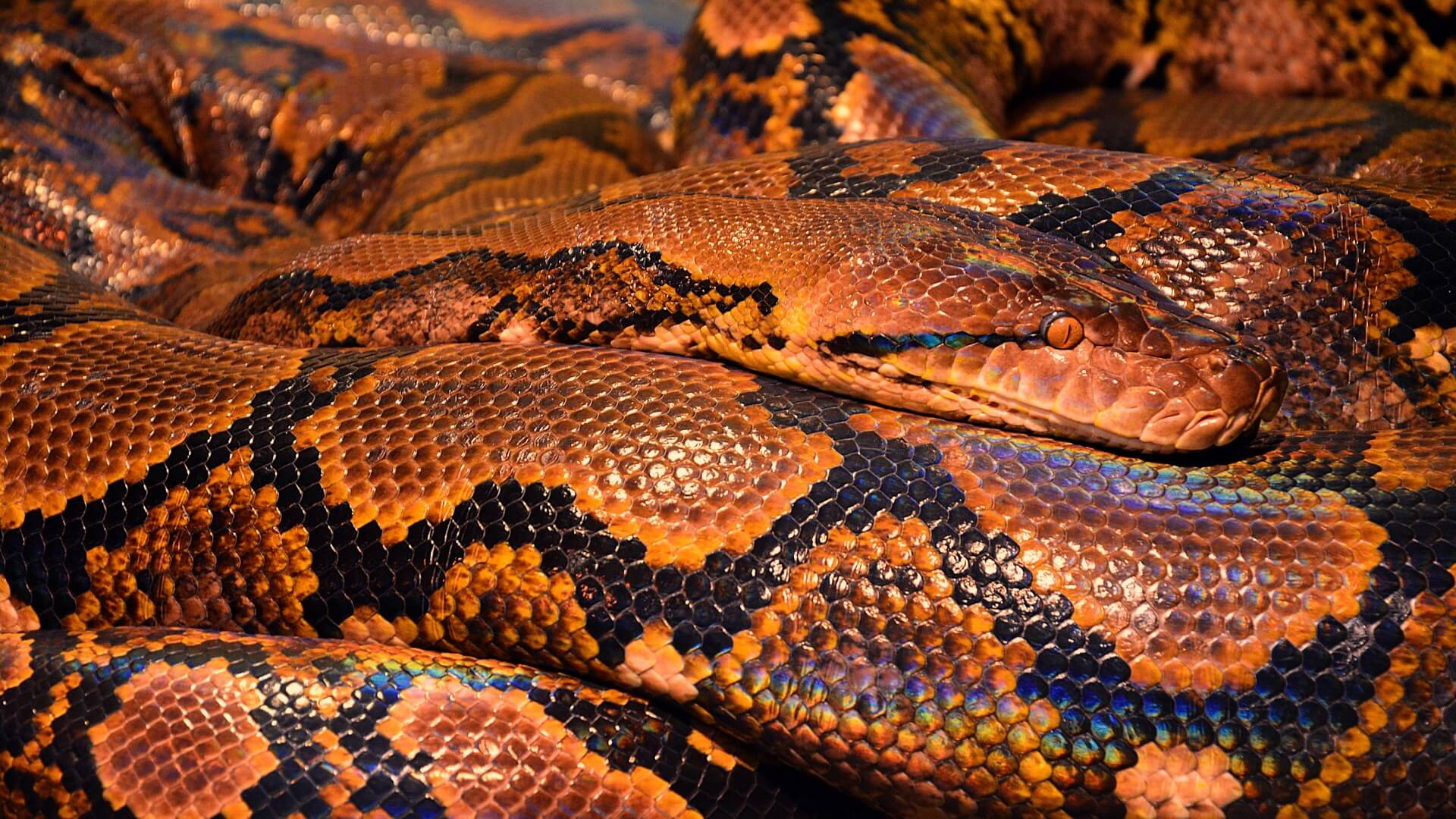 reptile snake wallpaper background