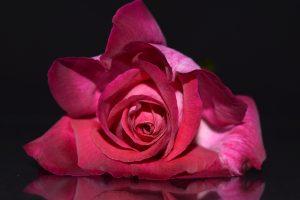 rose close up wallpaper 4k 5k background