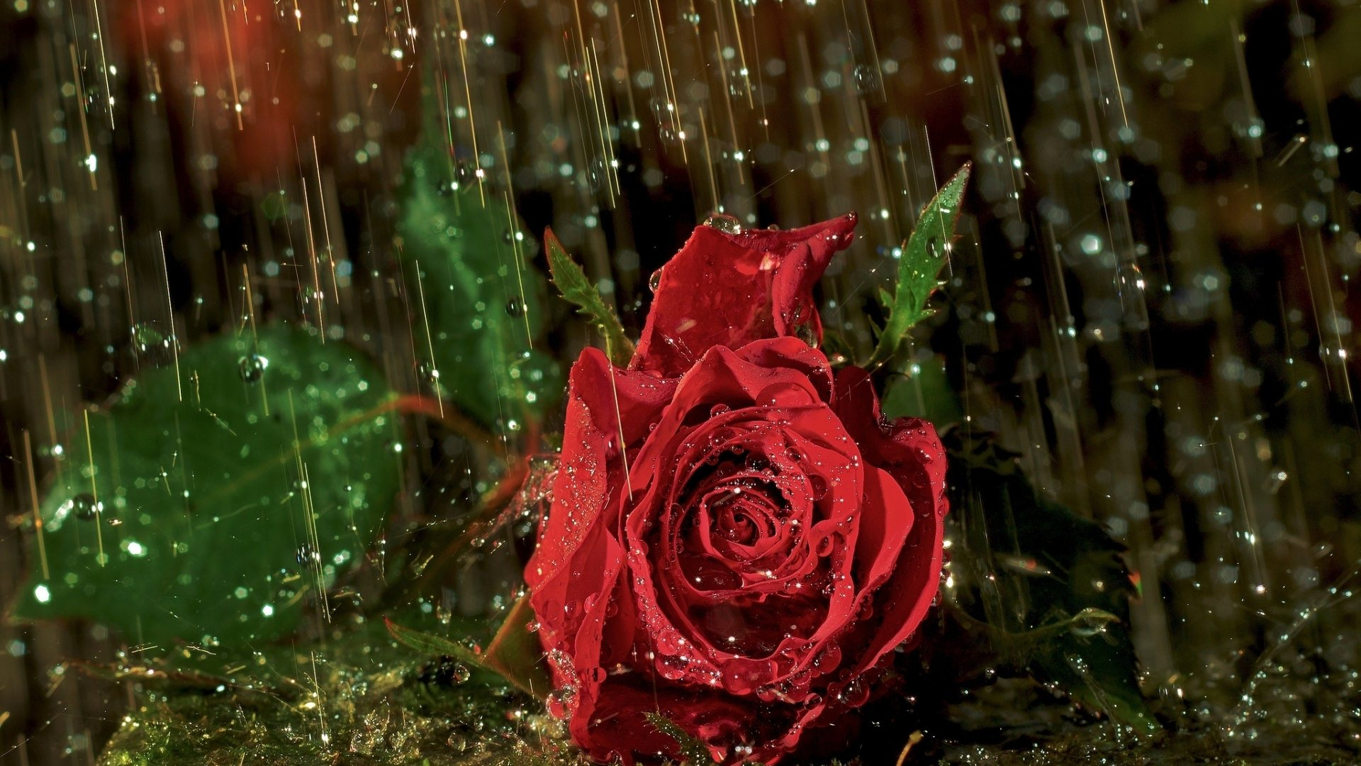 rose in rain wallpaper background, wallpapers