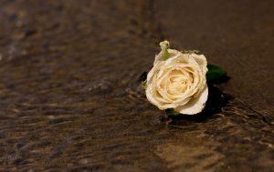 Rose in Water 4K Wallpaper