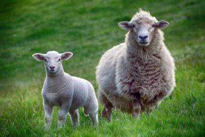Sheep Wallpaper Background