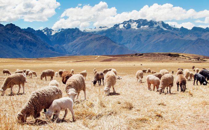 sheeps in field wallpaper background