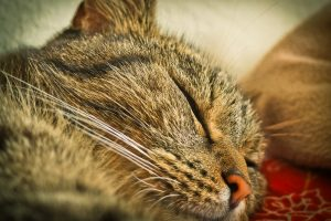 Sleeping Cat Close Up Wallpaper 4K