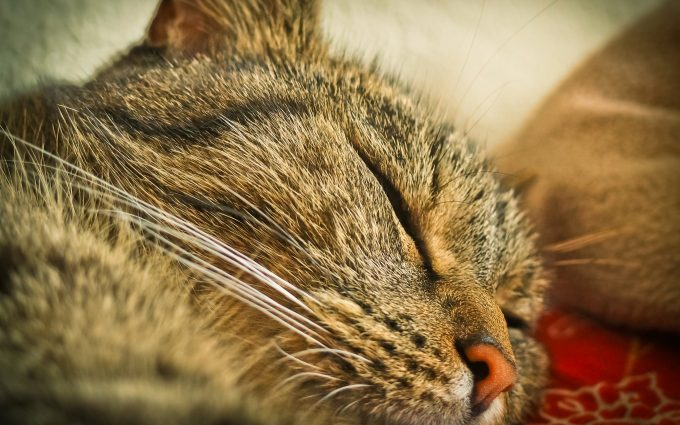 sleeping cat close up wallpaper 4k background