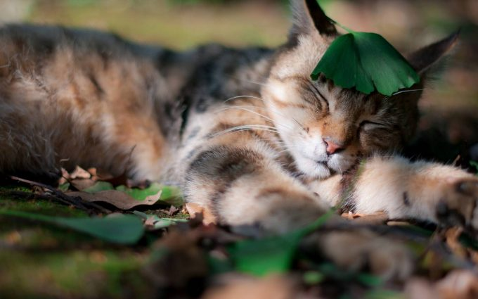 sleeping cat wallpaper background