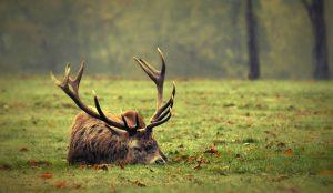 Sleeping Deer Wallpaper