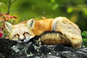 sleeping fox wallpaper background