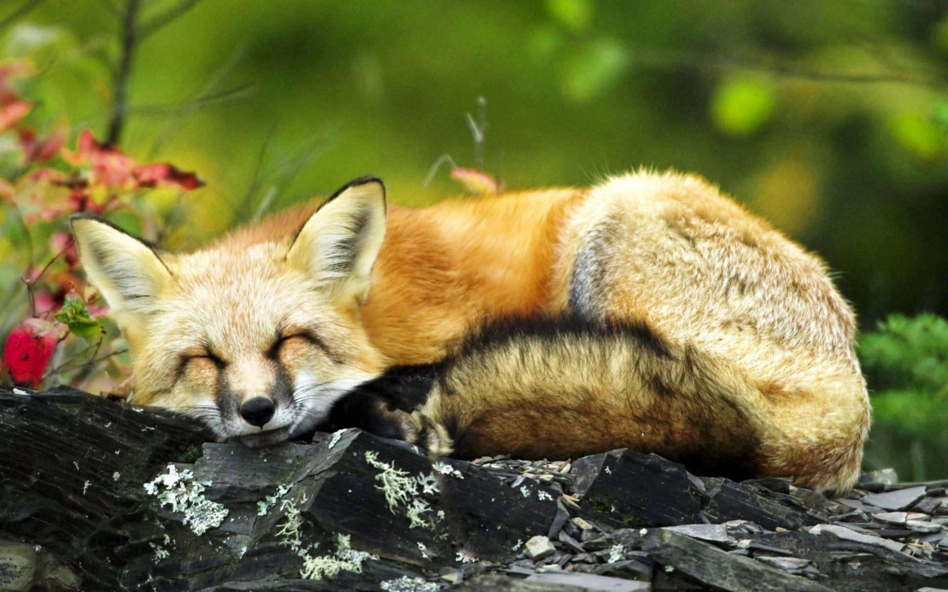 sleeping fox wallpaper background