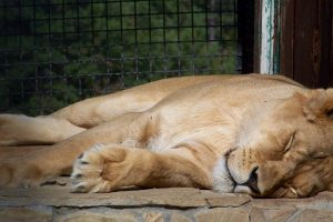 sleeping lion wallpaper background