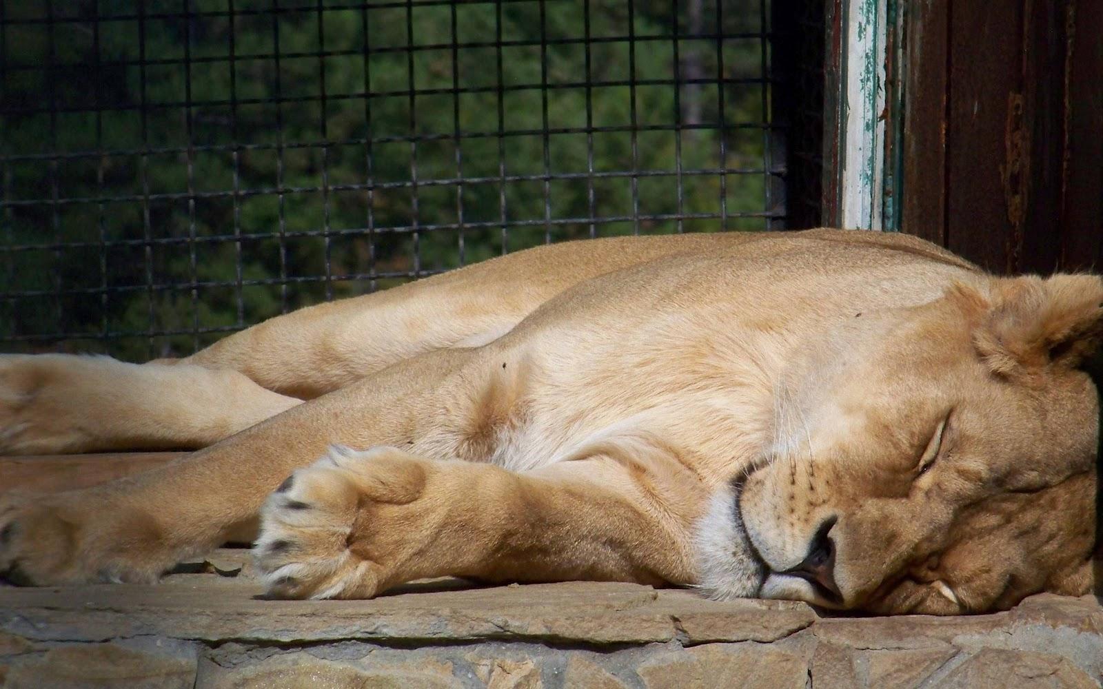 sleeping lion wallpaper background