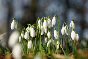 snowdrops flowers wallpaper background