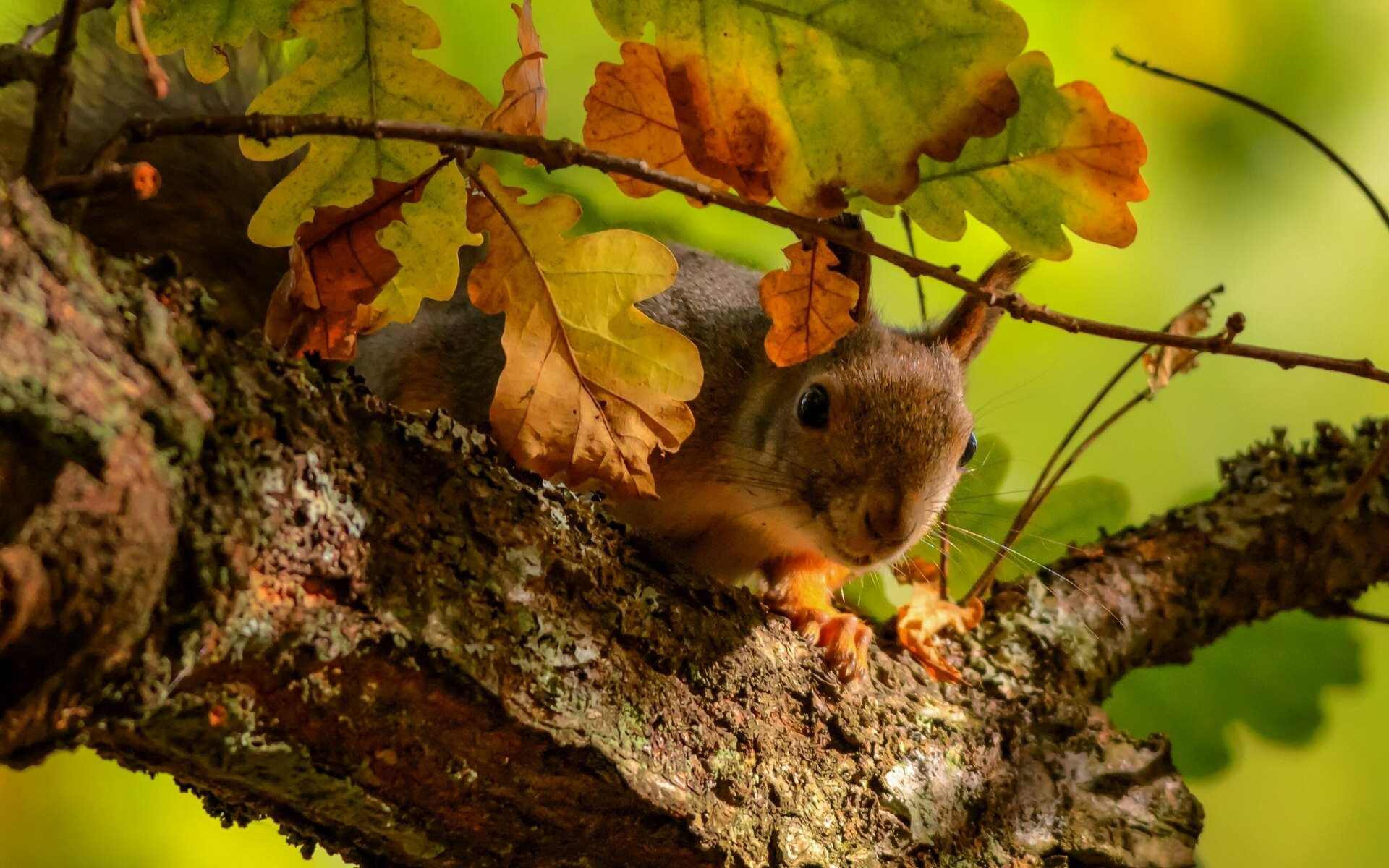 squirrel on tree wallpaper background
