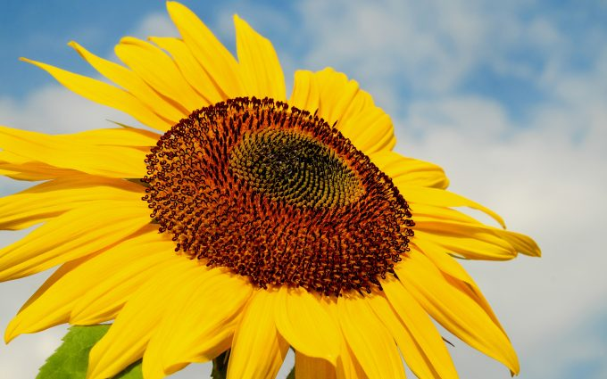 sunflower 4k wallpaper