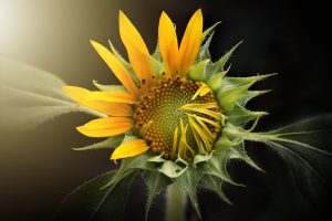 sunflower leaf wallpaper