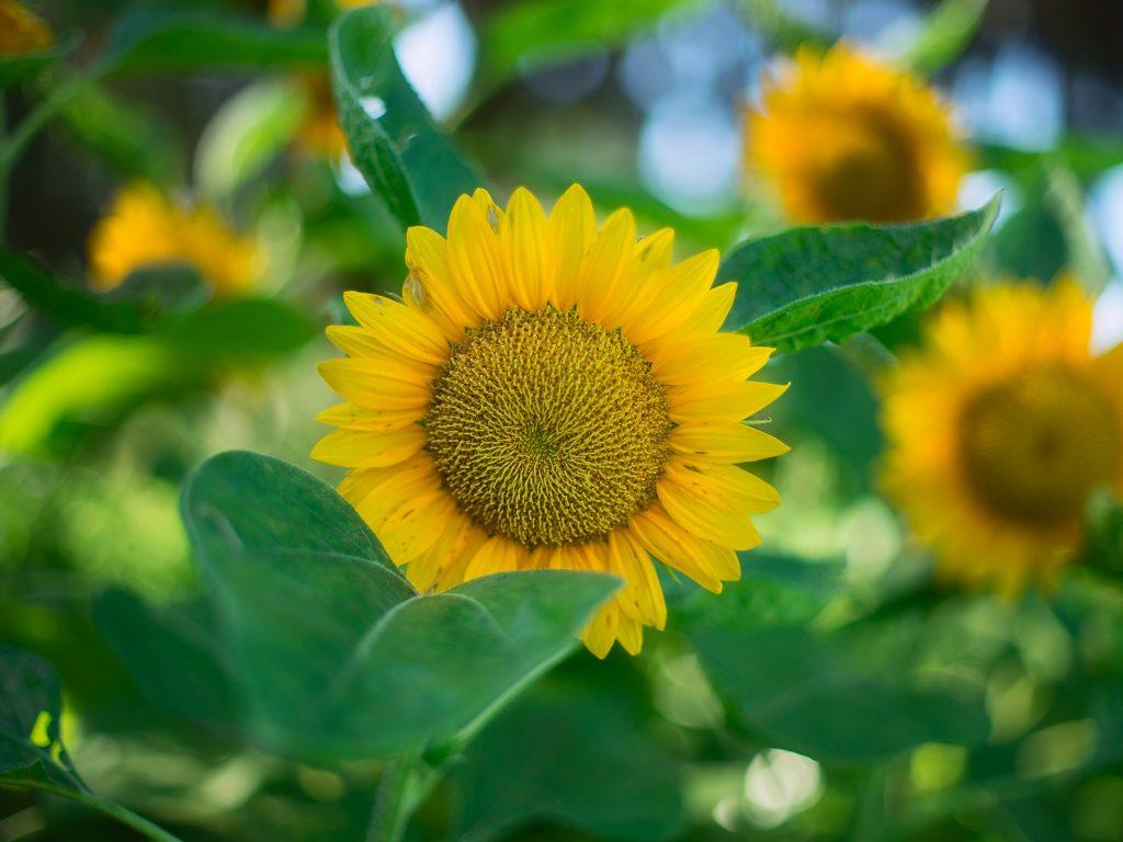 Sunflower Wallpaper 4K Background   HD Wallpaper Background