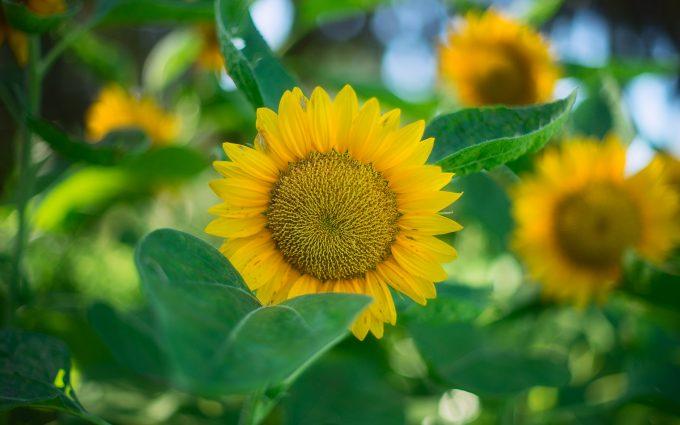 sunflower wallpaper 4k background