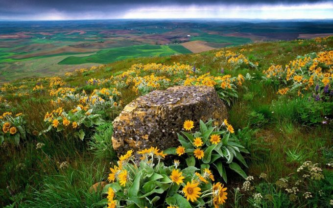 sunflowers on mountain wallpaper background
