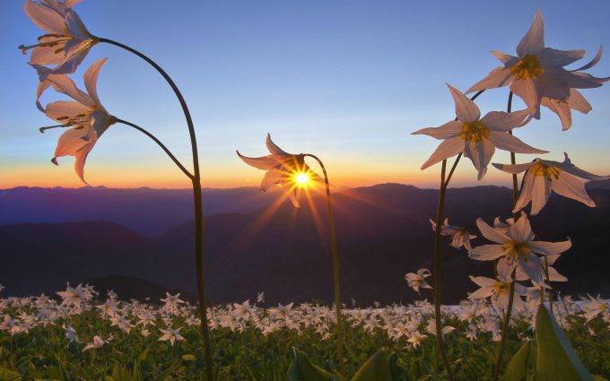 sunrise flowers wallpaper background