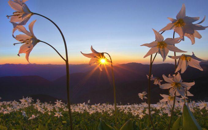 sunrise flowers wallpaper background