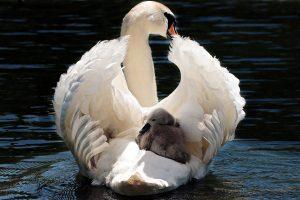 swan baby 4k 5k wallpaper