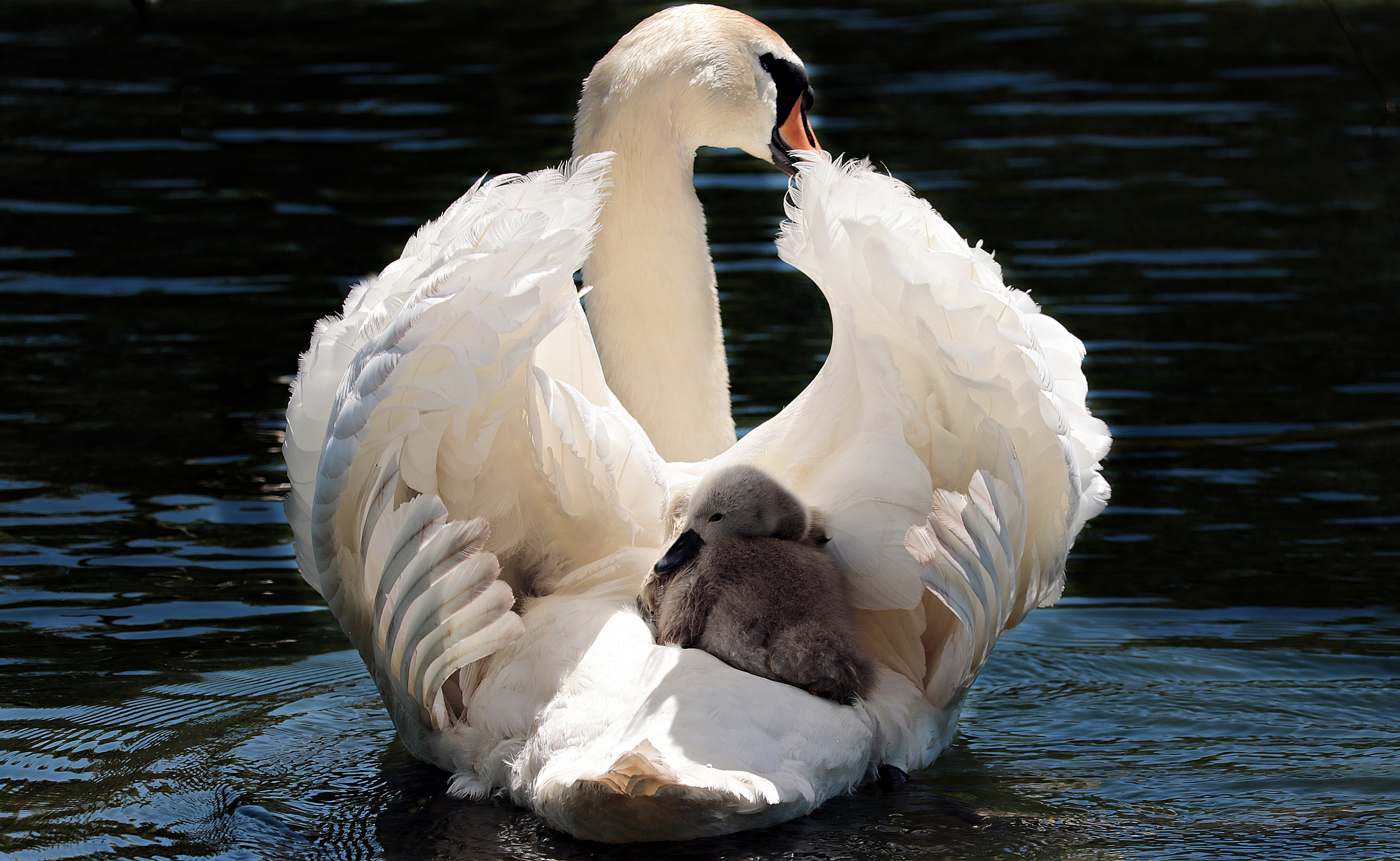 The trumpeter swan (Cygnus buccinator) is a species of swan found in North weeny.tk heaviest living bird native to North America, it is also the largest extant species of waterfowl with a wingspan that may exceed 10 ft ( m). It is the American counterpart and a close relative of the whooper swan (Cygnus cygnus) of Eurasia, and even has been considered the same species by some authorities.