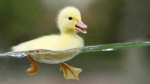 Swimming Baby Duck Wallpaper Background