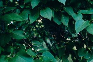 tree leaves wallpaper background