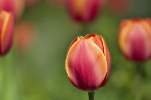 tulip close up wallpaper background