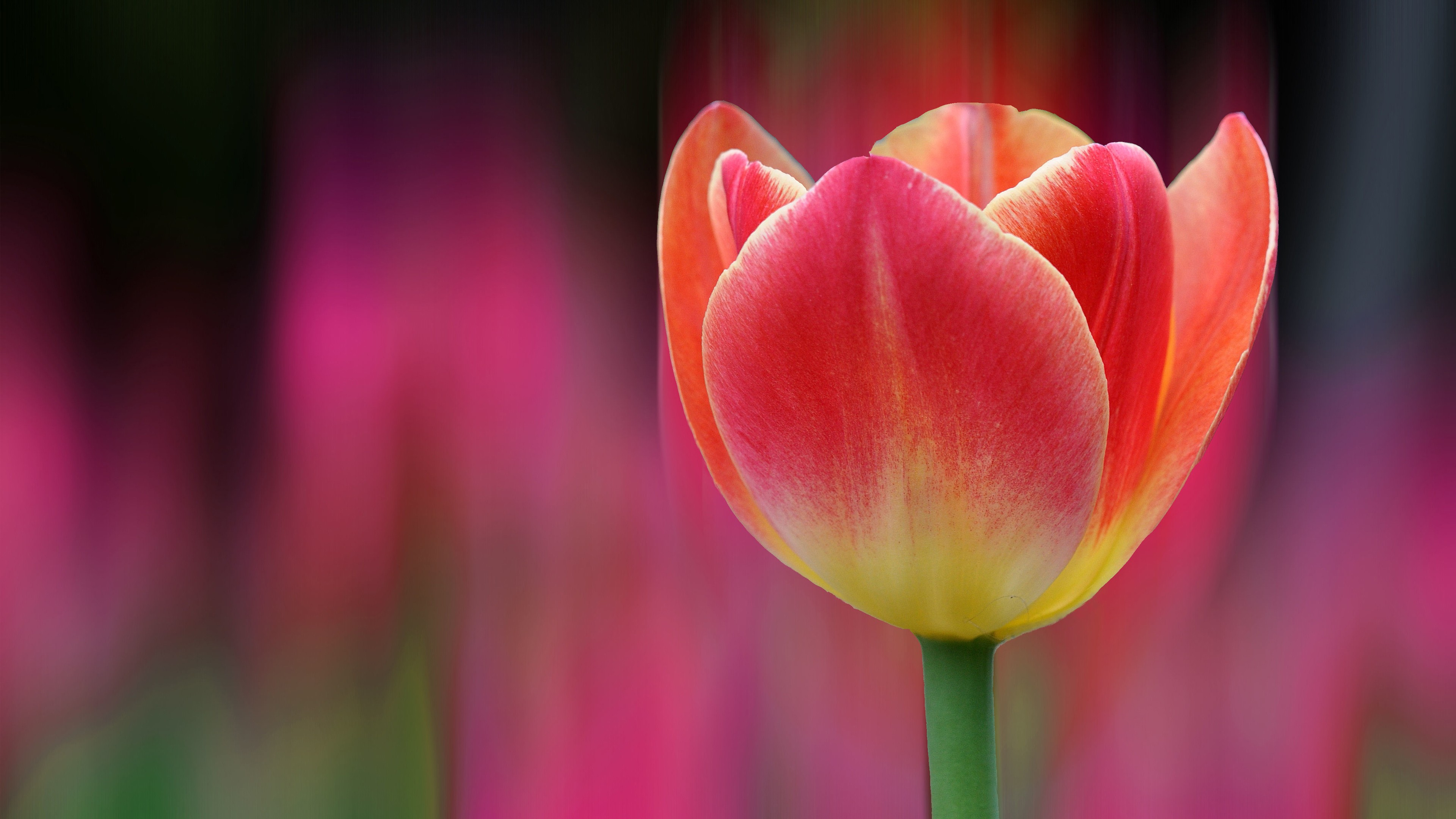 tulip wallpaper 4k background