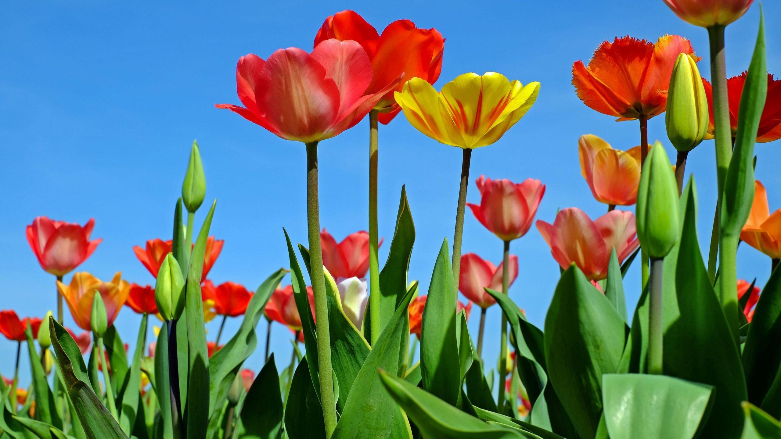 Tulips 4k wallpaper background hd wallpaper background - Background images 4k hd ...