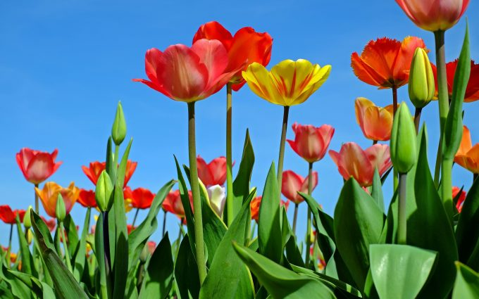 tulips 4k wallpaper background