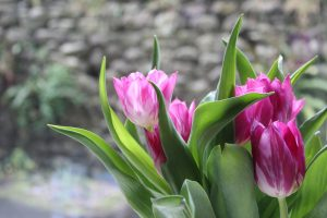 tulips flowers 4k 5k wallpaper