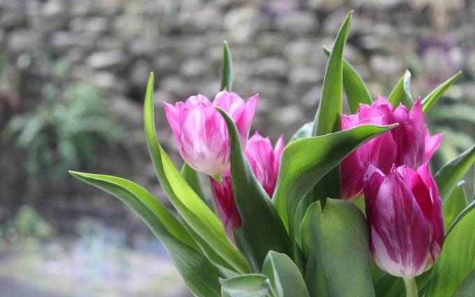 tulips flowers 4k 5k wallpaper